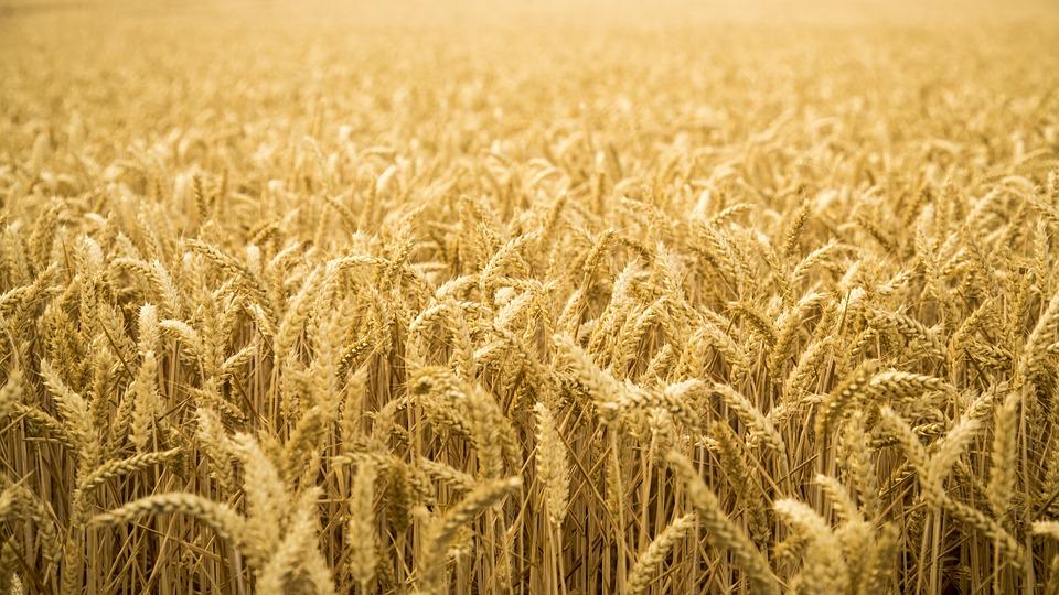caracteristicas-trigo-duro