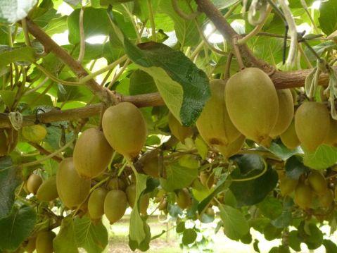 arbusto-kiwi